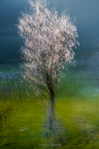 Almond tree, blossoming